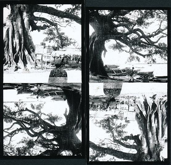 Racines aériennes. Série 'A world upside down'. 2014.